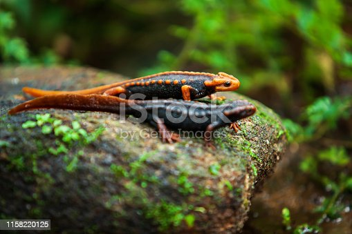 Two Himalayan newt on the stone in primeval tropical forest, fantastic two Himalayan newt or crocodile salamander, dorsal orange and black colors pattern. Doi Inthanon, Chiang Mai, Thailand. Selective focus.