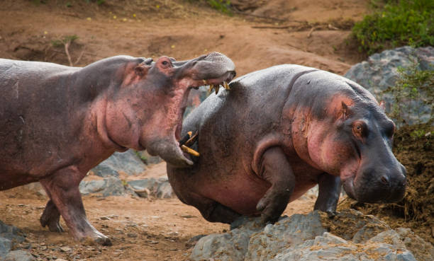 Two hippopotamus fighting with each other. stock photo