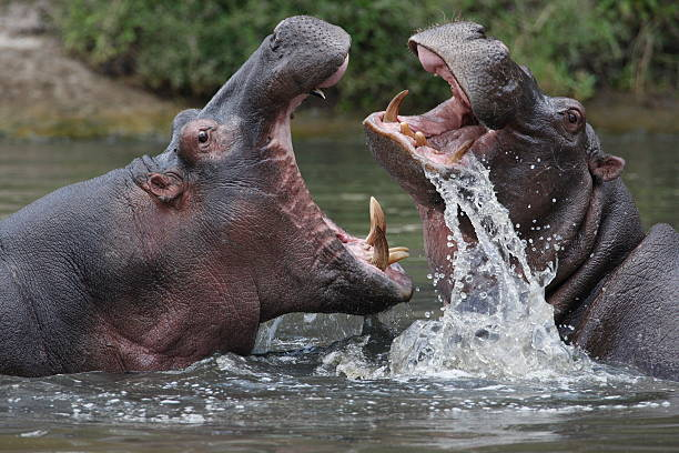 Two hippopotamuses fighting in a river stock photo