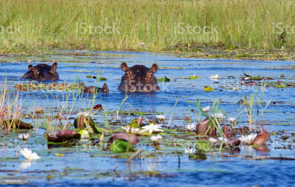 Two hippos and calf in Xigera Concession,Okavango Delta,Botswana stock photo