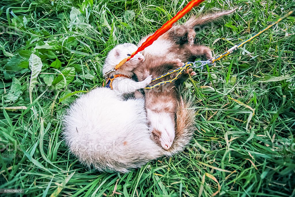 Two home ferrets on leash play in green grass stock photo