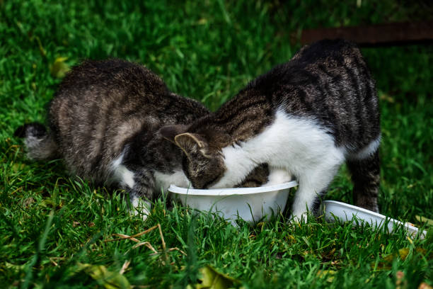 Two homeless kittens eating from a plastic bowl stock photo