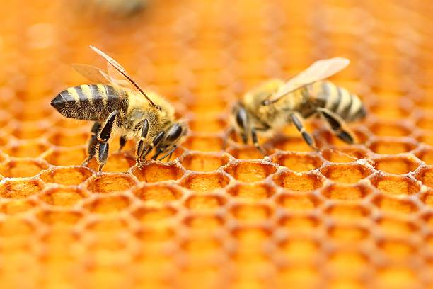 Two honeybees stock photo