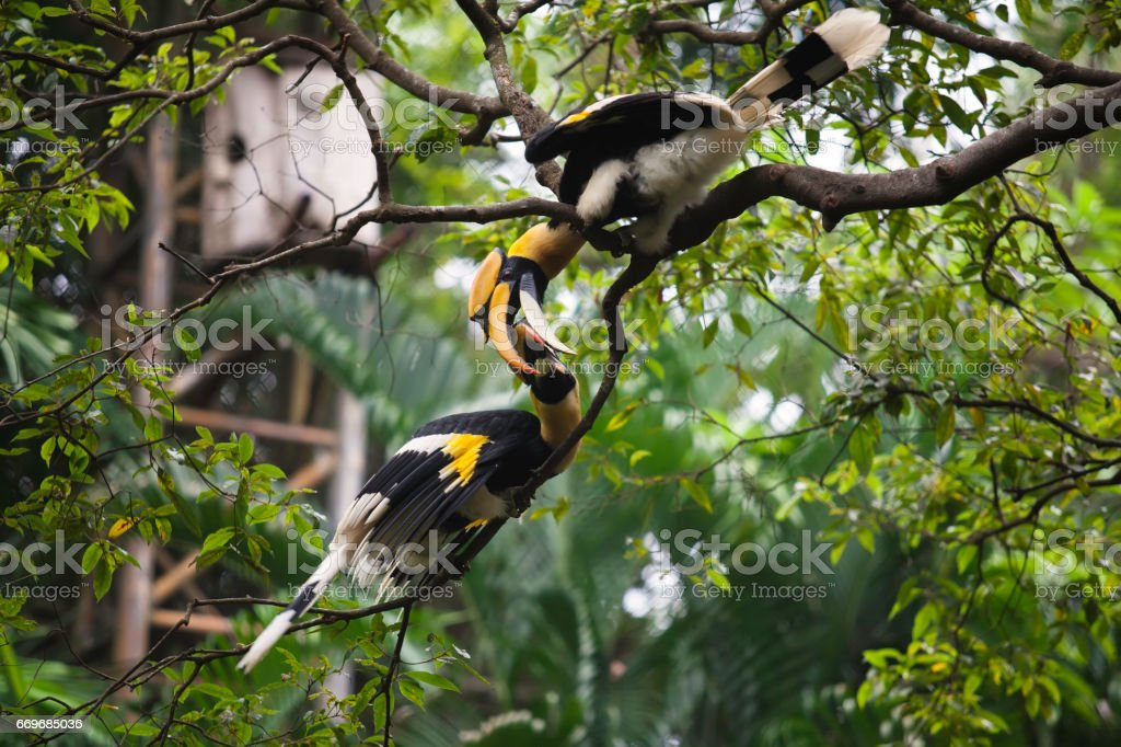 Two hornbill are playing together. stock photo