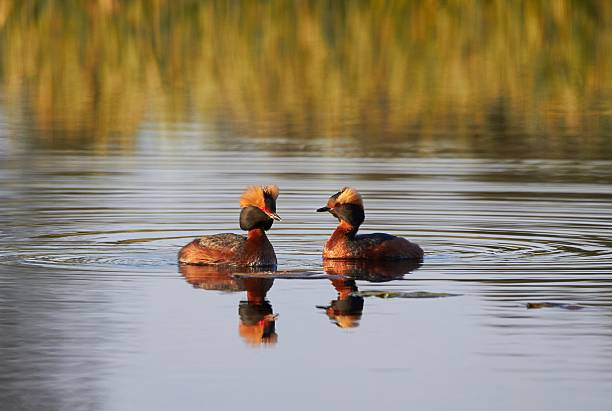 Two Horned grebes in the lake stock photo