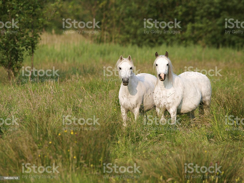 Two Horse royalty-free stock photo