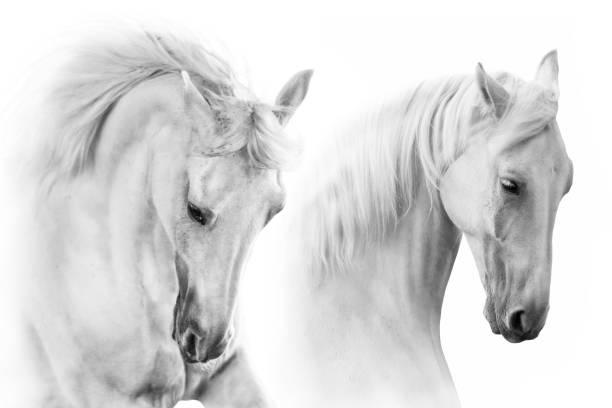 zwei pferde porträt high-key - andalusier pferd stock-fotos und bilder