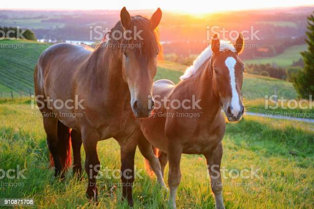 Two horses at sunset bavaria germany picture id910871708?b=1&k=6&m=910871708&s=612x612&h=enyp2bmvanodj3ruojaa2zjejicrv2ny2ibg9dplcsy=