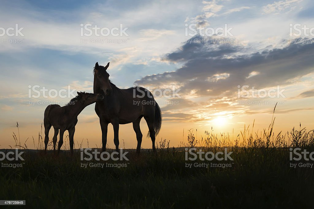 two horses at sunset royalty-free stock photo