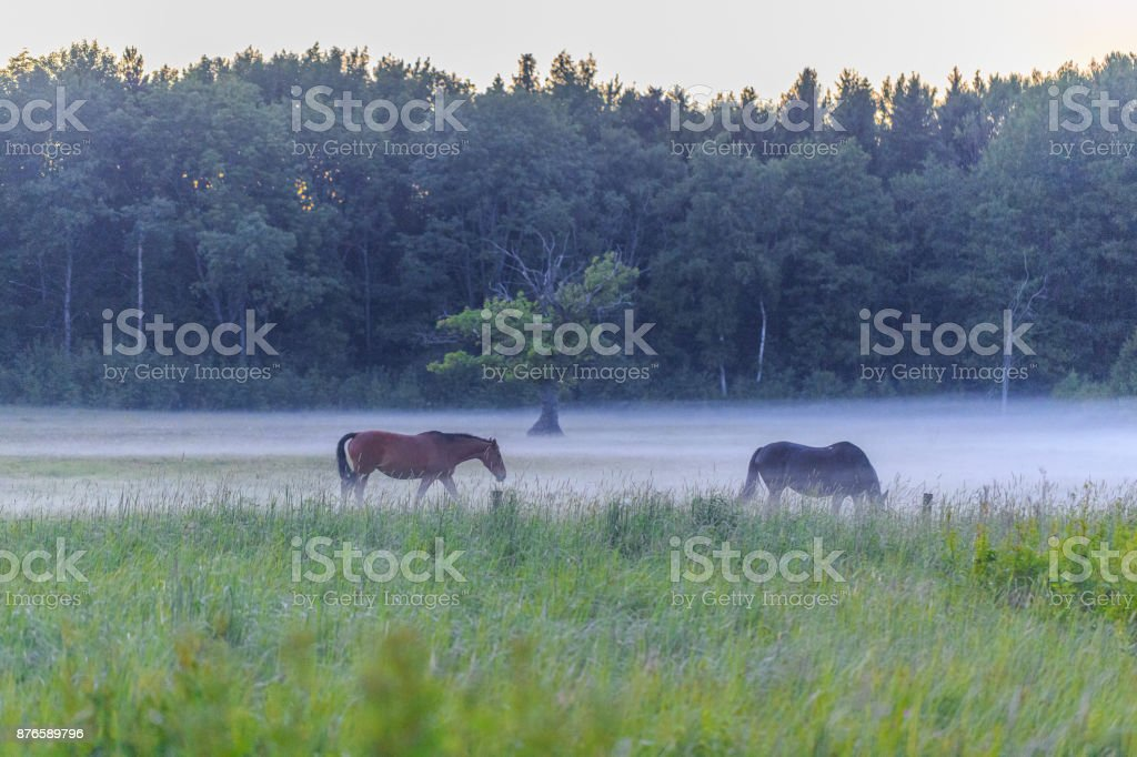 Two horses black horse and brown horse standing in field covered with fog with forest at background. Landscape view stock photo