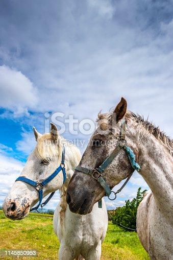 two horses profile shot