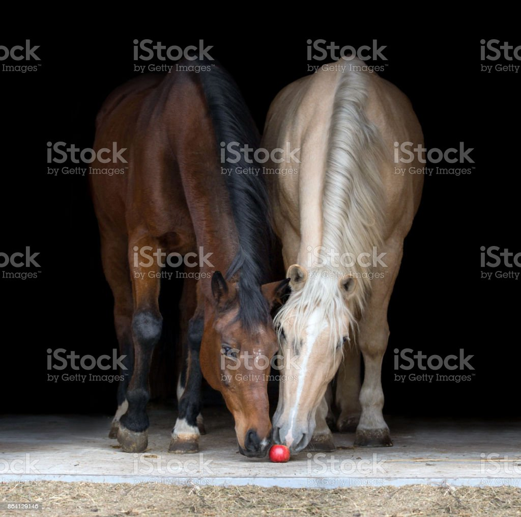 Two horses eating apple on black background. royalty-free stock photo