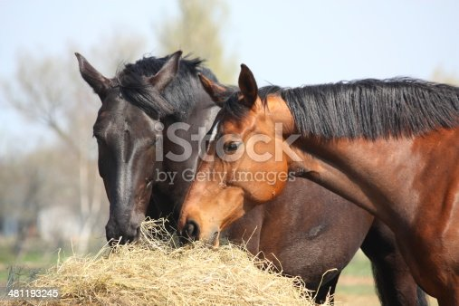 Black and chestnut horses eating hay