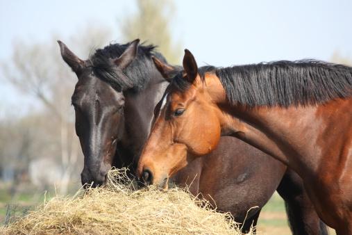 Two Horses Eating Hay 照片檔及更多 乾的 照片