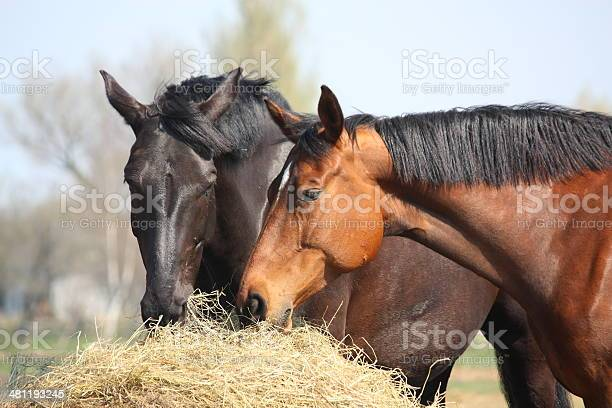 Photo of Two horses eating hay