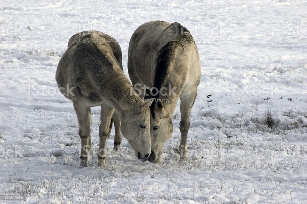 Two horses eating in snow stock photo