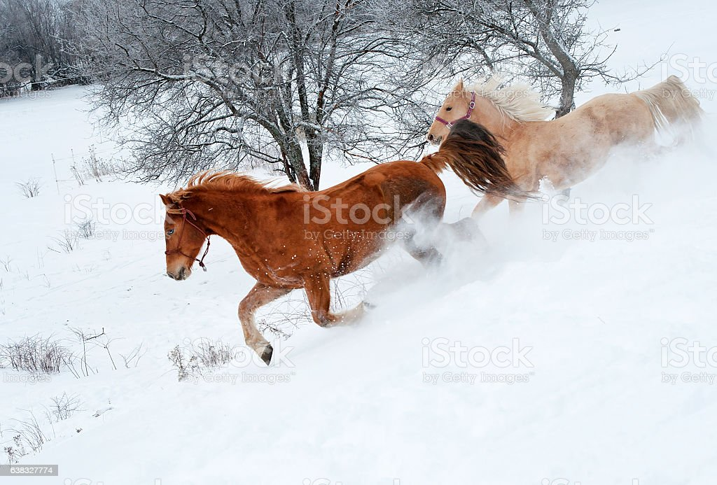 Two horses galloping in the snow stock photo