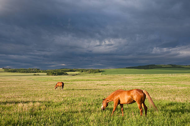two horses graizing on the great plains with storm - great plains stock photos and pictures