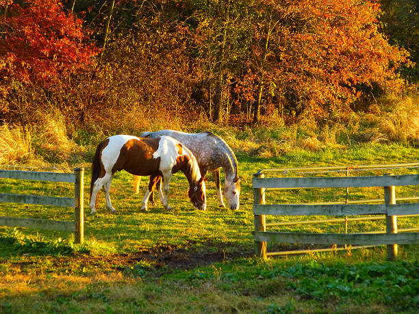 Two Horses graze at sunset in autumn A couple of horses graze peacefully at sunset on a calm colorful autumn day. paint horse stock pictures, royalty-free photos & images