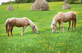 Two horses grazing on a meadow with the haystacks