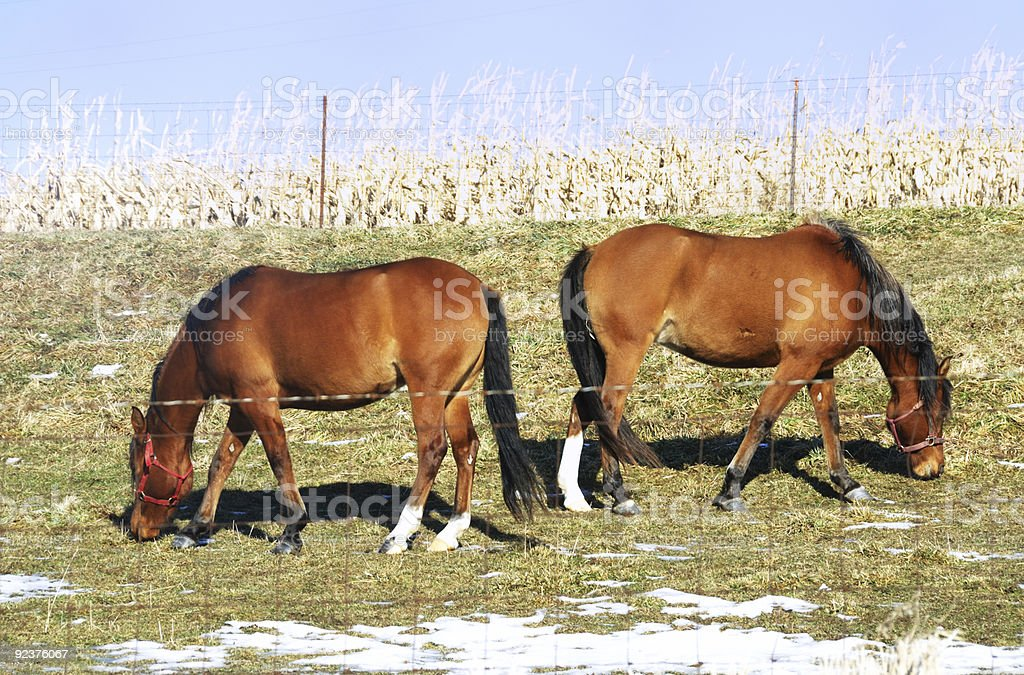 Two Horses Grazing Back-to-back royalty-free stock photo