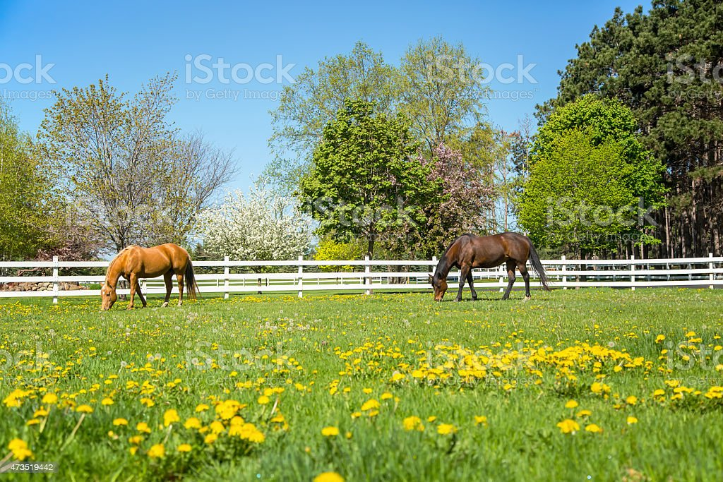 Two Horses Grazing In Spring Pasture stock photo
