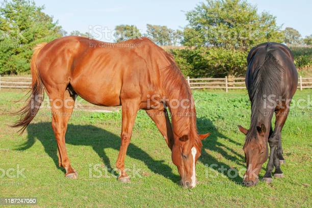 Photo of Two horses grazing in the sun.