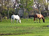 Two Horses Grazing on Grass Near Trees in a Farm Pasture