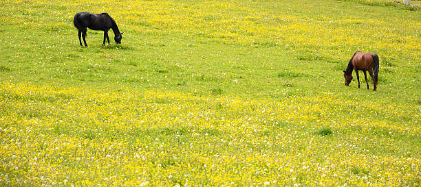 Two horses grazing on pasture full of buttercups stock photo