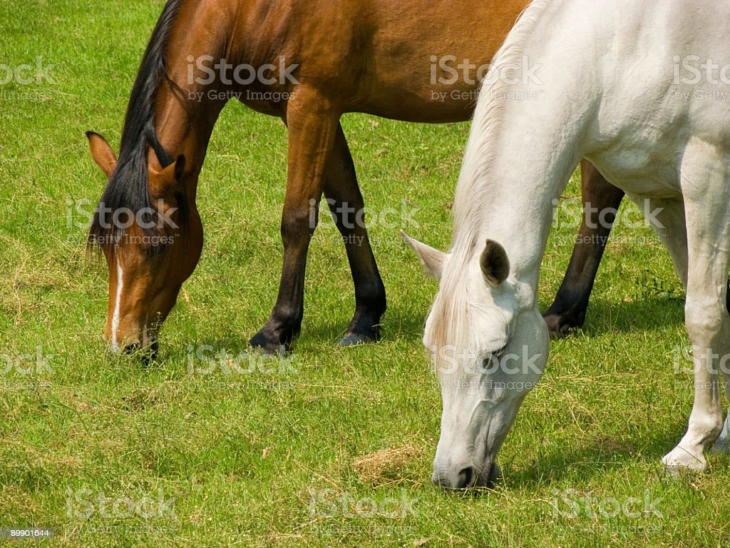 Two horses grazing royalty-free stock photo