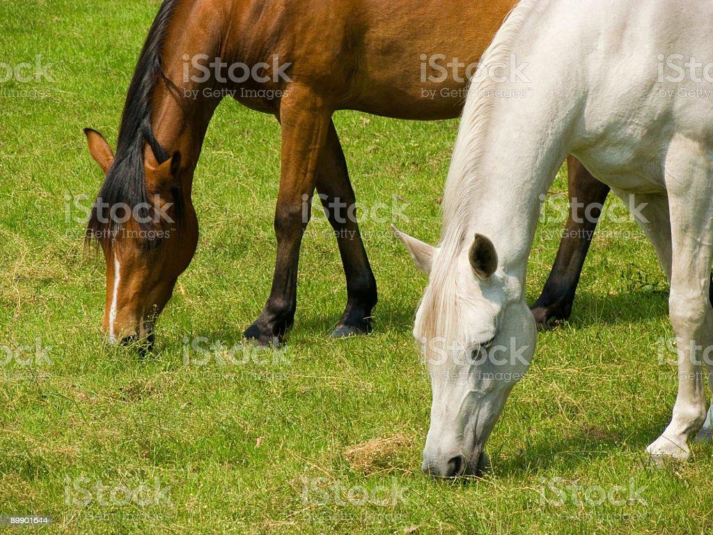 Zwei Pferde Grasen Lizenzfreies stock-foto