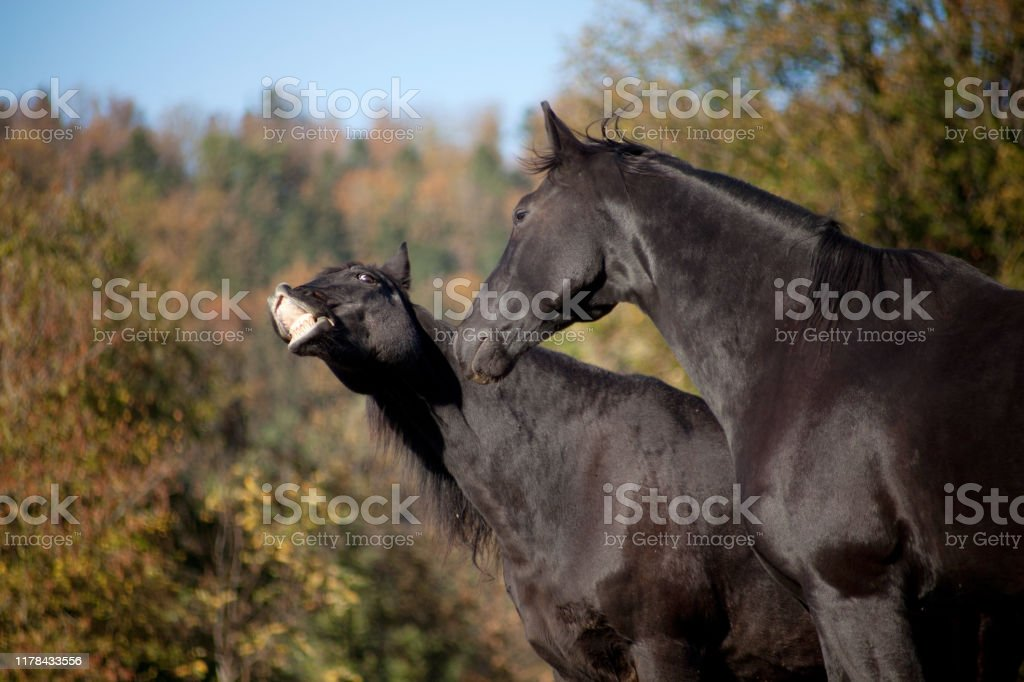 Two Horses Have Fun And Make Funny Faces Smiling Horse Make Grimace Stock Photo Download Image Now Istock