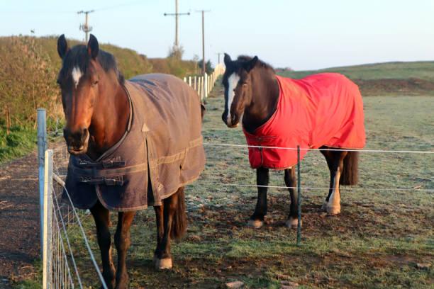 Two horses in coats stock photo