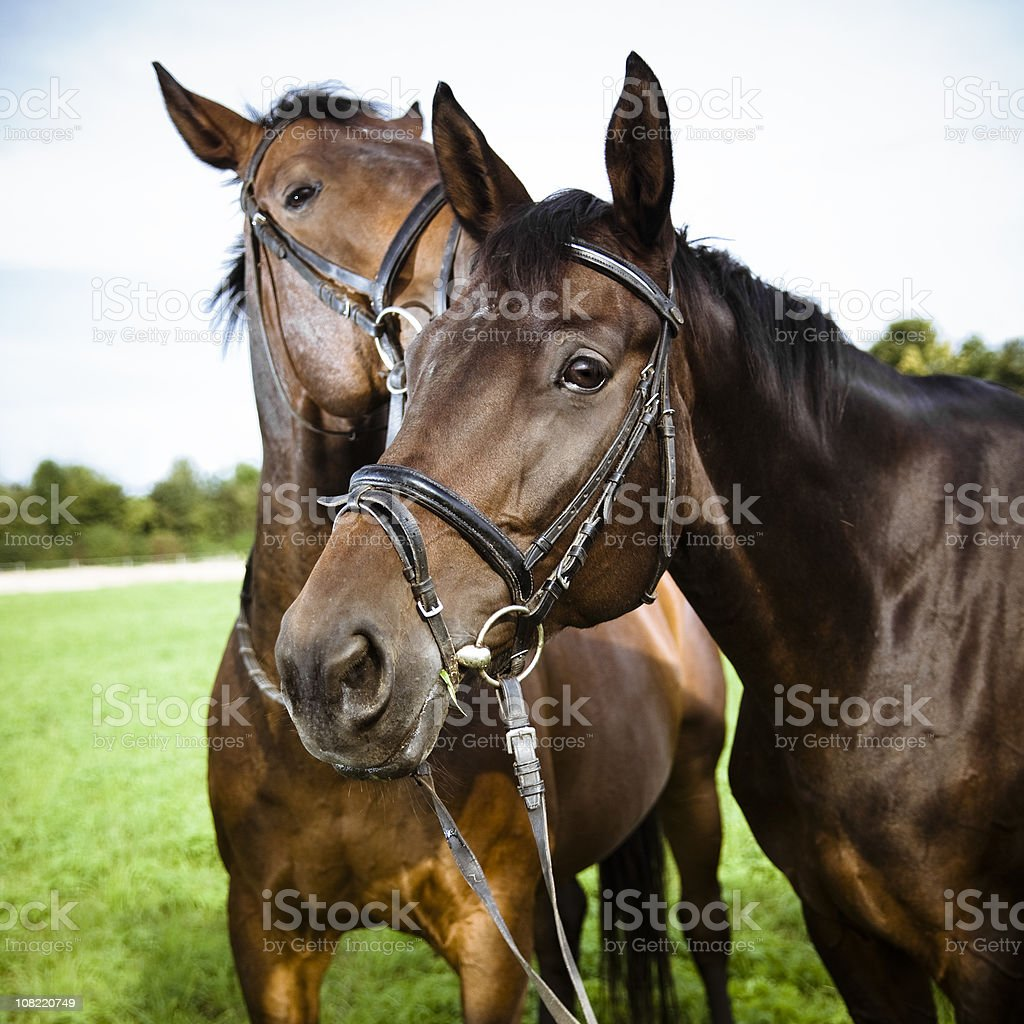 Two Horses in Field royalty-free stock photo