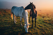 Two horses in love grassing on calm morning autumn meadow