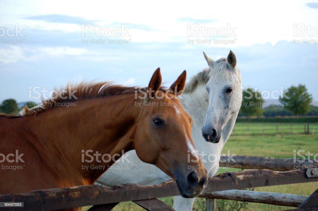 Two Horses leaning over the fence royalty-free stock photo