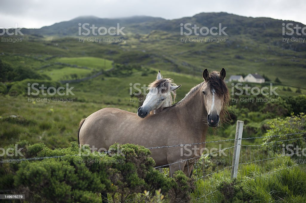 Two horses nuzzling in the country side stock photo