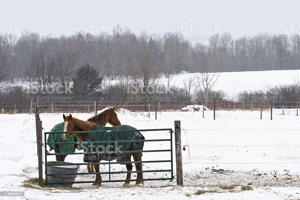 Two Horses on a bitter cold snowy day royalty-free stock photo