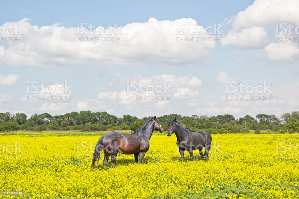 Two horses on a rapeseed field stock photo
