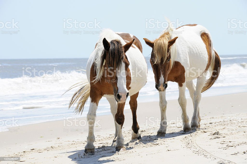 Two Horses on Beach at Assateague Island, Maryland - Royalty-free Animal Stock Photo