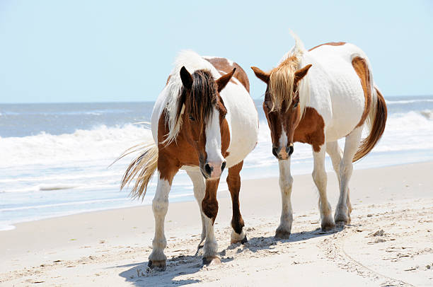 Two Horses on Beach at Assateague Island, Maryland Pair of wild horses walking along the beach at Assateague Island, Maryland in the summer with the water in the background. paint horse stock pictures, royalty-free photos & images