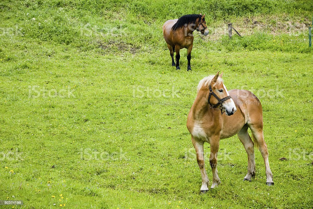 Two horses on meadow royalty-free stock photo