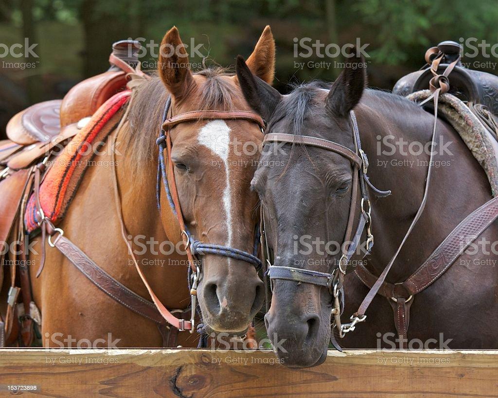 Two horses stock photo