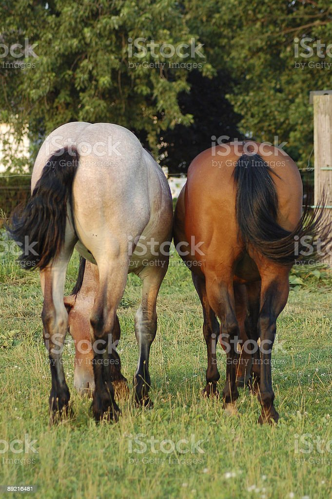 Two Horses Rear Ends stock photo