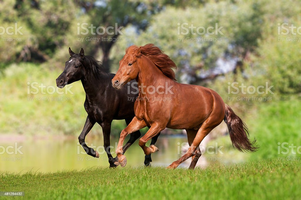 two horses run on sunset meadow stock photo