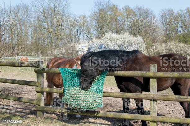 Photo of Two horses stand at the fence and eat hay from a feed sack.