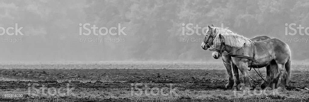 Two horses, standing on a fresh plowed field, panorama - foto de stock