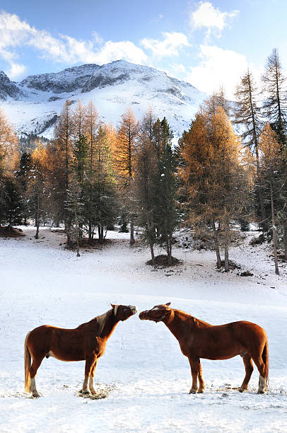 Two horses together standing in the snow stock photo