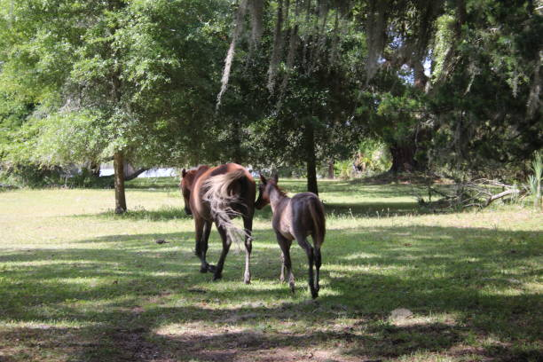 Two horses walking across a green and brown grassy area stock photo