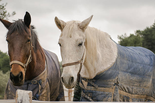 Two horses wearing winter clothes. stock photo